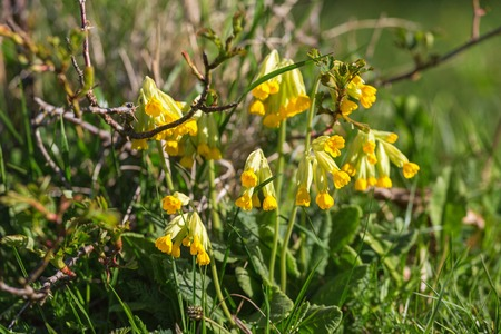 pastureland: Cowslips that bloom in the meadow