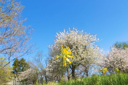 cowslip: Cowslip with cherry trees in spring