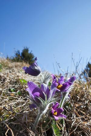 pasqueflower: Pasqueflower, (Pulsatilla vulgaris), which blooms in early spring