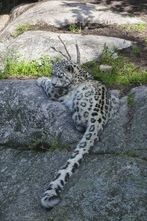 snow leopard: Snow leopard lying on the ground