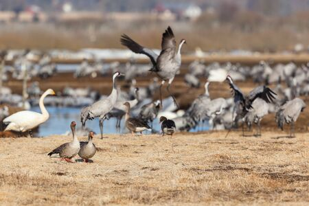 Greylag Goose and Cranes on a meadow photo