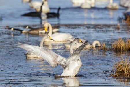 flapping: Whooper swan flapping of their wings Stock Photo
