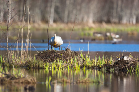 birdnest: Whooper Swan at its nest in the lake
