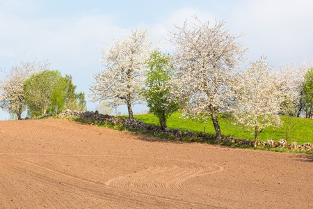 non cultivated land: Harrowed field with blooming cherry trees on the stone wall