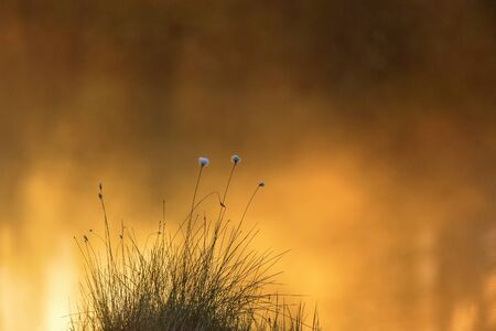 turf bog: Cottongrass in sunrise at the lake Stock Photo
