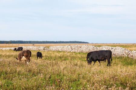 Cows grazing on a moor photo