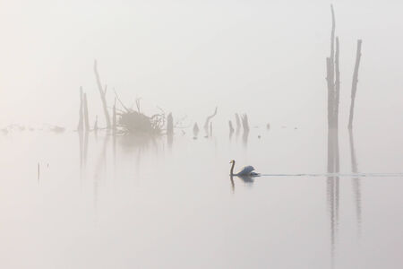 Mute swan swimming in the mist photo