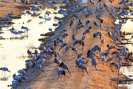Flock of cranes grazing in the morning light photo