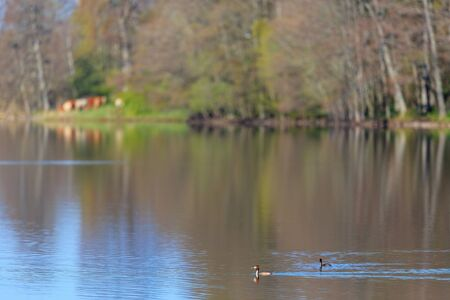 crested duck: Great crested grebe pair in the lake at spring Stock Photo