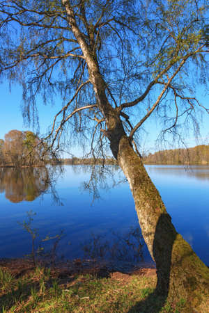 birch tree: Birch tree at a lake landscape at spring