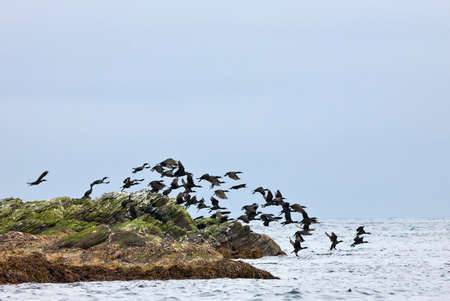 taking off: European shag taking off frome the cliffs Stock Photo