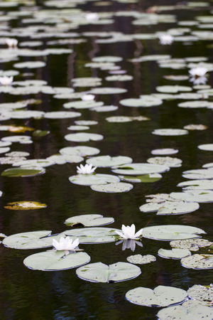 nenuphar: Water lily in a pond