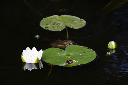nenuphar: White water lily in a pond, nymphaea alba