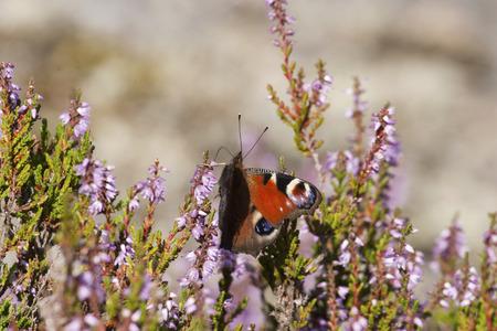 peacock butterfly: Peacock butterfly in a calluna meadow