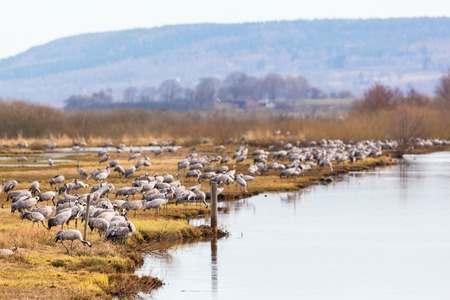 Flock of Cranes on a field at a river photo