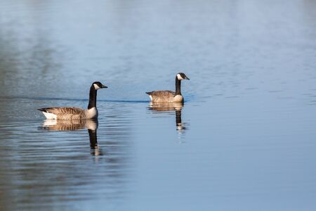 Canada Goose pair swimming in the lake photo