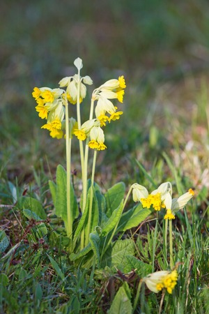 Cowslip bloom in a meadow