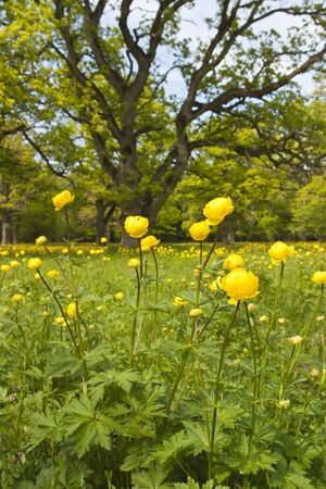 Large oak trees and Globeflower in the meadow photo