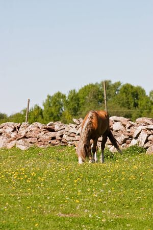 graze: Horses graze at the meadow