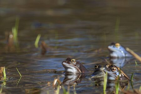 Moor frogs in the mating season 版權商用圖片