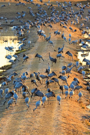 Flock of cranes grazing in the dawn light photo