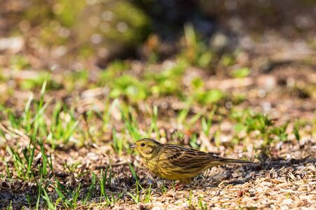 sitting on the ground: Yellowhammer sitting on the ground