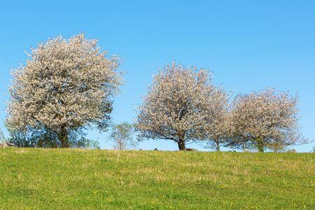 treeline: Flowering cherry trees at the field