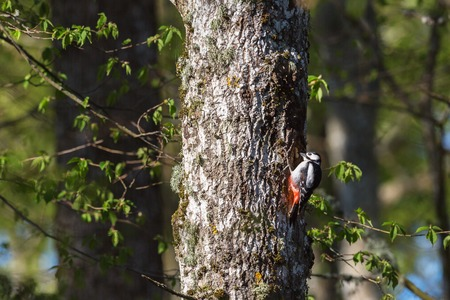 making hole: Great spotted woodpecker making a hole in a tree trunk