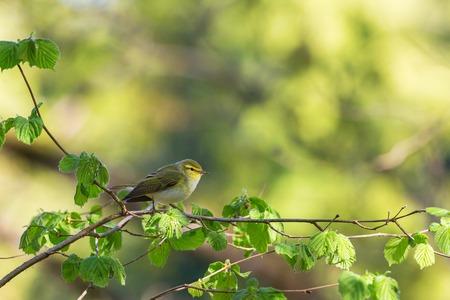 sitt: Green Warbler sitt on a branch