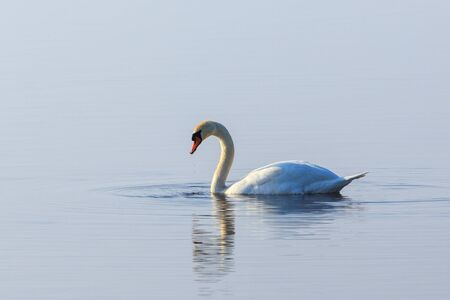 dribble: Mute swan with water dribble from its beak Stock Photo