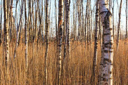 tronchi di betulla, tra le canne Archivio Fotografico