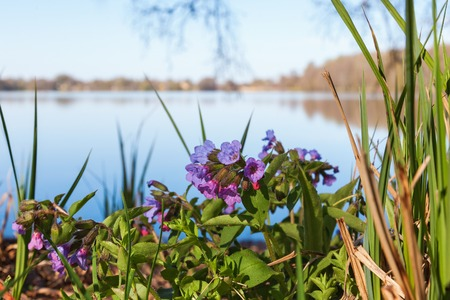 Lungwort flower at a lake in spring photo