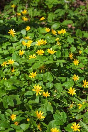 lesser: Lesser celandine flowers in a meadow Stock Photo