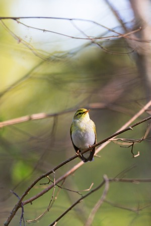 warbler: Wood Warbler sitting on a branch Stock Photo