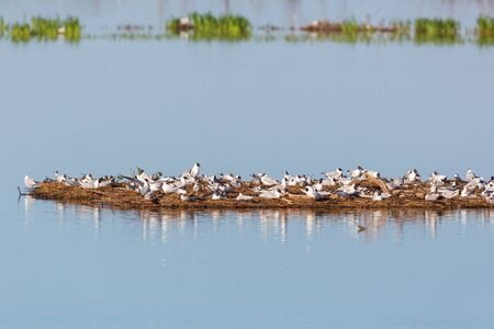 sweden resting: Black-headed Gull colony on a small island in the water