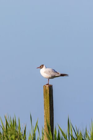 sweden resting: Black-headed gull sit on a pole at the lake