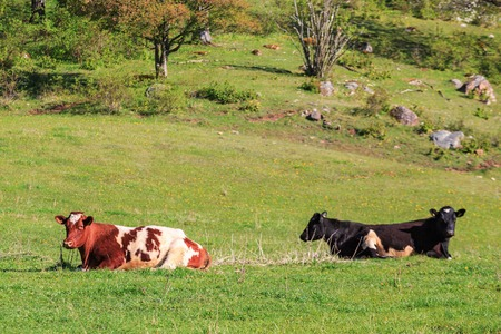 non cultivated land: Cows that lies in the meadow and rest