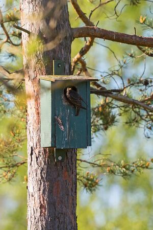 nesting: Starling at a nesting box in spring Stock Photo