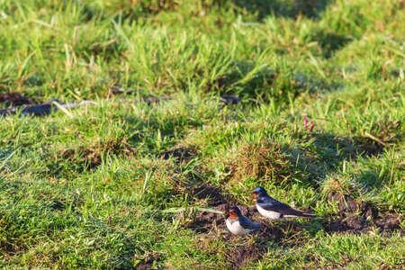 golondrinas: Golondrinas se sientan en el suelo