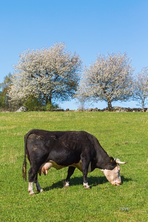 Cow grazing on the meadow in spring photo