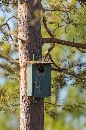 nesting: Starling as peeking out from a nesting box
