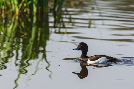 tufted: Tufted duck swimming in to reeds