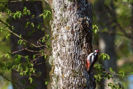 making hole: Great spotted woodpecker making a hole in a tree trunk at spring