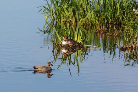 birdnest: Gadwall swim past a Great crested grebe at a birdnest