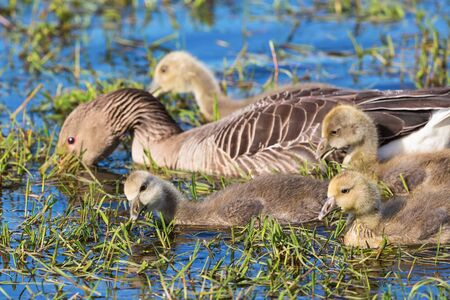 greylag: Greylag Goose with newborn goslings swimming in a pond Stock Photo