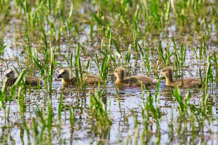 Newborn greylag goslings swim on line in the water photo