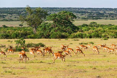 beautiful landscape: Herd of Impala antelope on the savanna Stock Photo