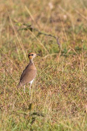 somali: Somali courser bird standing on the savannah