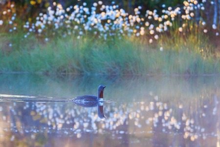 gavia: Red throated loon in summer morning mist at a forest lake Stock Photo