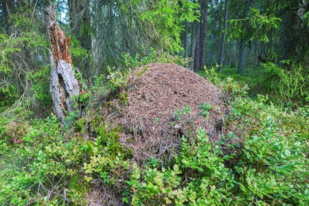 anthill: Anthill in the taiga woods Stock Photo
